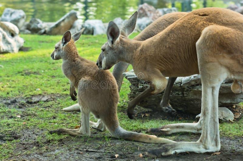 Ein Känguru der erwachsenen Frau, der ihr joey aufpasst stockbilder