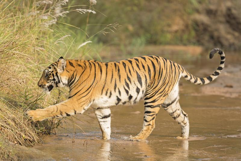 Ein königlicher Bengal-Tiger, der einen Strom kreuzt stockfotos