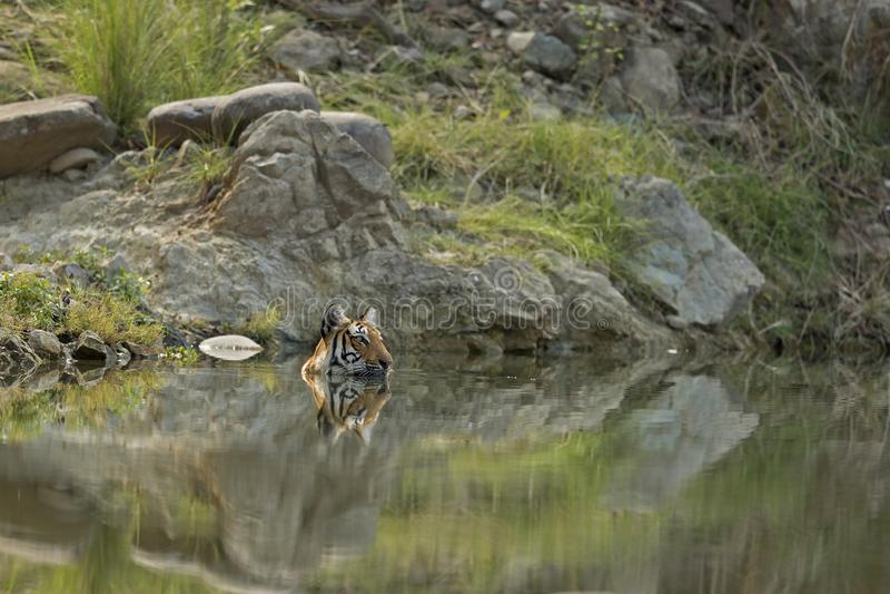 Ein königlicher Bengal-Tiger, der im Wasser sich entspannt stockbilder