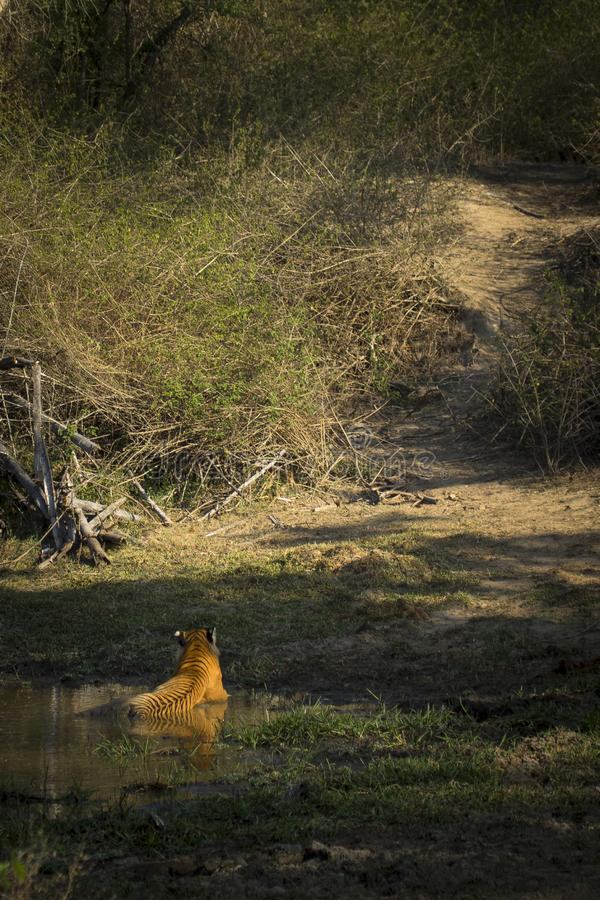 Ein königlicher Bengal-Tiger in einem natürlichen Teich in einem Wald Indiens stockfoto