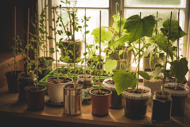 Ein Küchegarten mit den organischen, selbstgezogenen jungen Gemüseanlagen der Gurke, den Schneeerbsen und Pfeffer, die in den ver lizenzfreie stockbilder