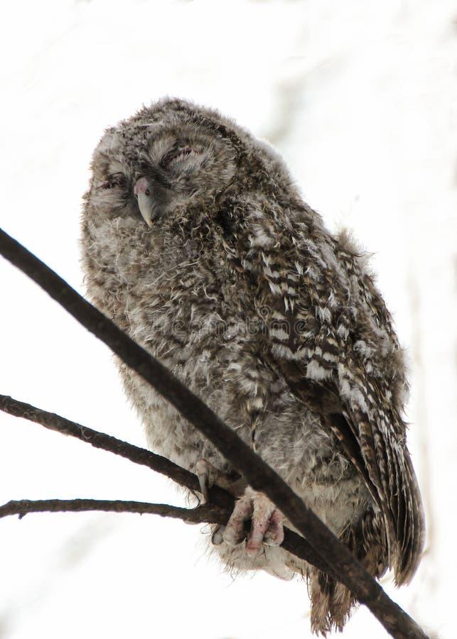 Ein Küken einer grauen Eule im Winterwald lizenzfreie stockfotografie