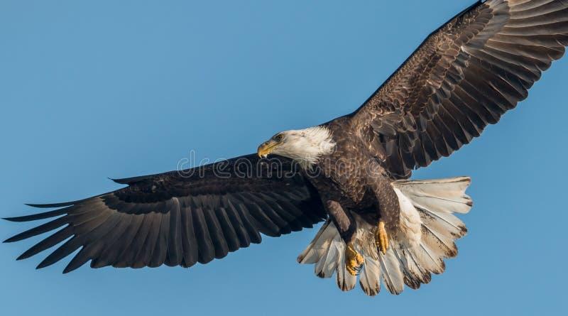 Ein kahler Adler lizenzfreies stockbild