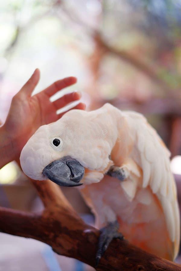 Ein Kakadu, der Haustier auf dem Kopf ist lizenzfreie stockfotografie