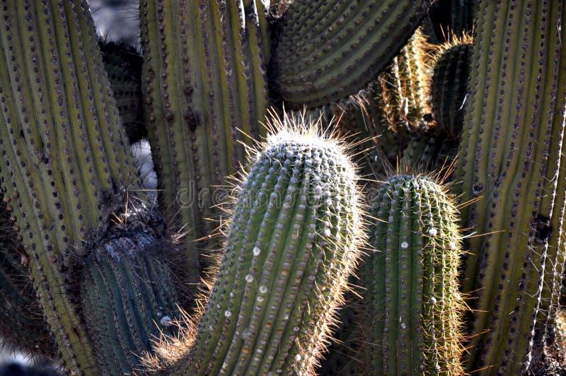 Ein Kaktus lizenzfreies stockfoto