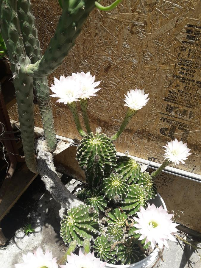 Ein Kaktus blüht stockfoto
