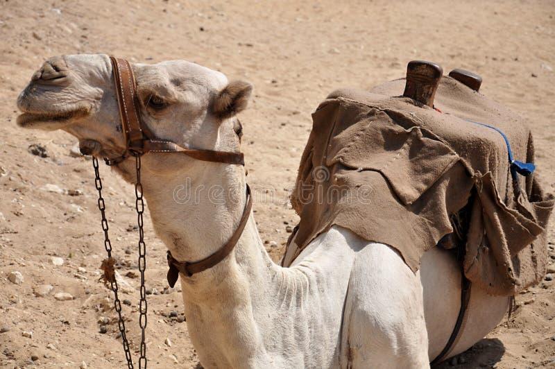Ein Kamel, das aus den Grund in Ägypten sitzt stockfotografie