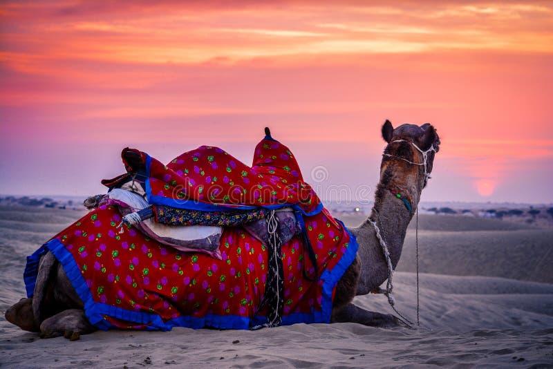 Ein Kamel, das bei Sonnenuntergang in einer Wüste sitzt stockbild