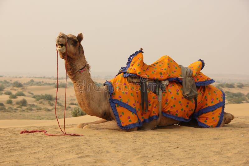 Ein Kamel in der W?ste stockbild