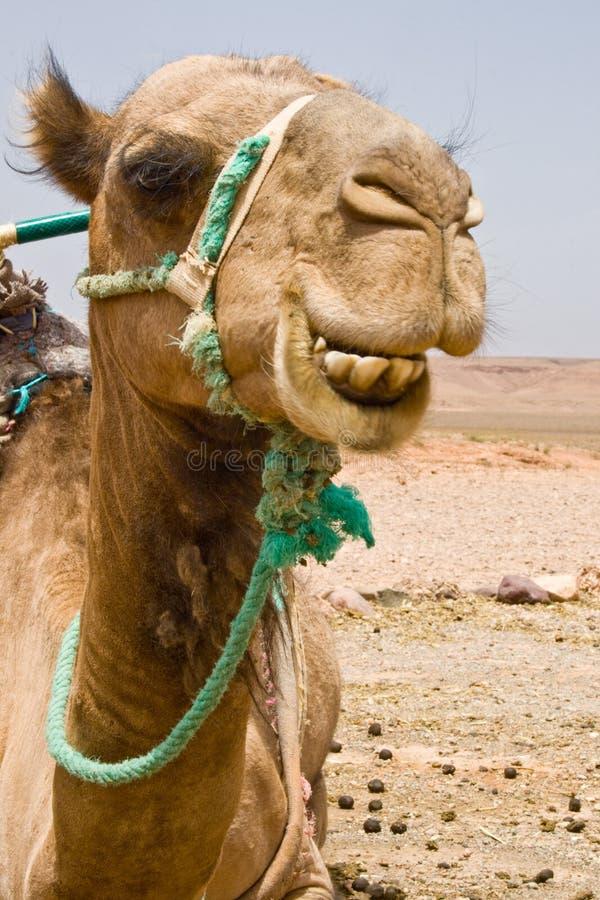 Ein Kamel in Marokko lizenzfreie stockfotografie