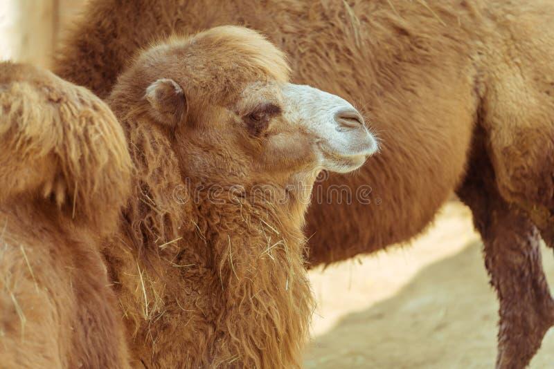 Ein Kamel passt auf stockfotos