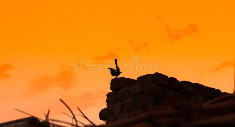 Ein Kaprotkehlchenschwätzchen, das auf einer Wand sitzt lizenzfreies stockbild
