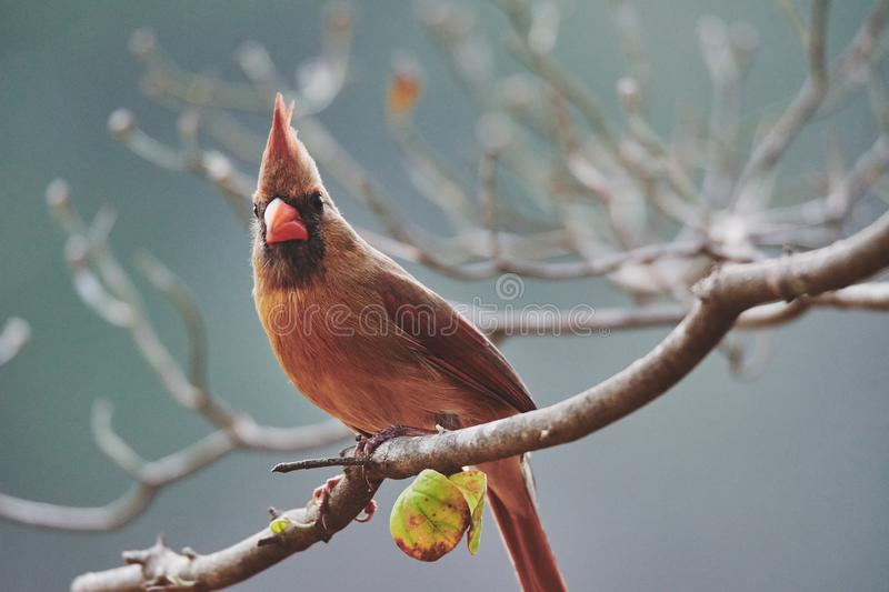 Ein Kardinal, der den Baum im Fall begleitet stockfoto