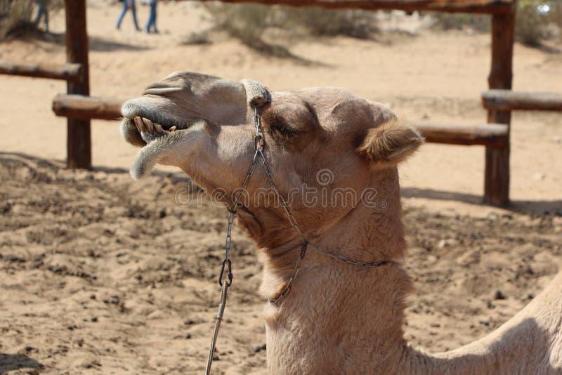 Ein kauendes Kamel lizenzfreie stockbilder