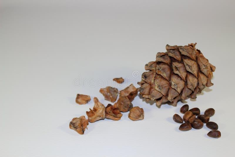 Ein Kegel der sibirischen Zeder mit ungereinigten Kiefernnüssen stockbild