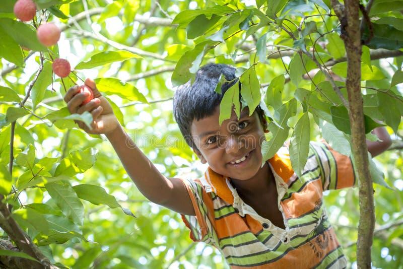 Ein Kind zupft Litschi von einem Baum am ranisonkoil, thakurgoan, Bangladesch lizenzfreie stockbilder