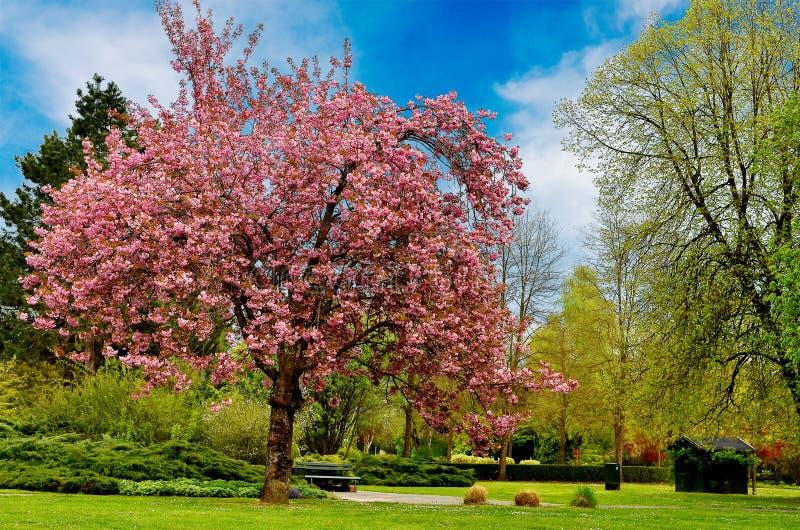 Ein Kirschbaum lizenzfreie stockfotos