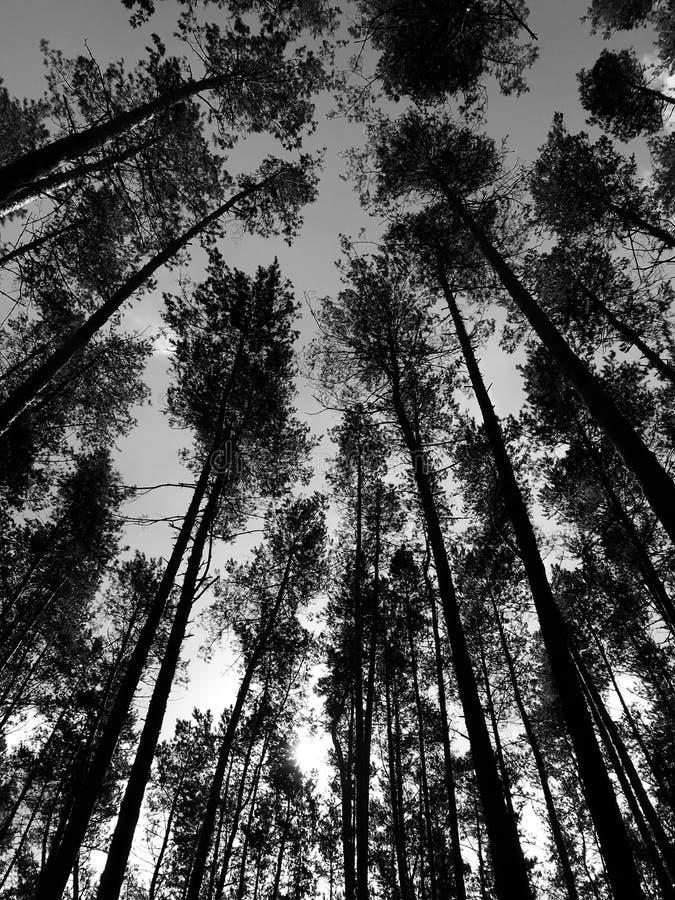 Ein klassischer schwarzer u. weißer Schuss eines klaren Morgens in einem Wald mit hohen Kiefern stockbilder