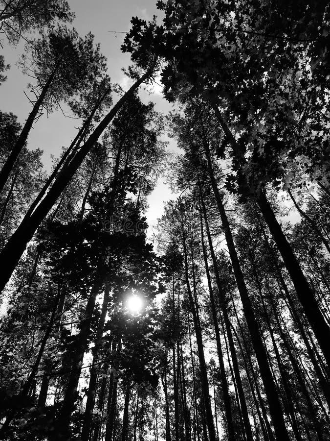 Ein klassischer schwarzer u. weißer Schuss eines sonnigen Morgens in einem Wald mit hohen Kiefern stockfotos