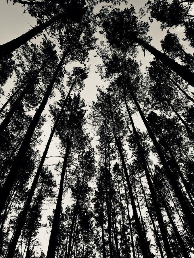 Ein klassischer schwarzer u. weißer Schuss eines sonnigen Morgens in einem Wald mit hohen Kiefern stockfoto