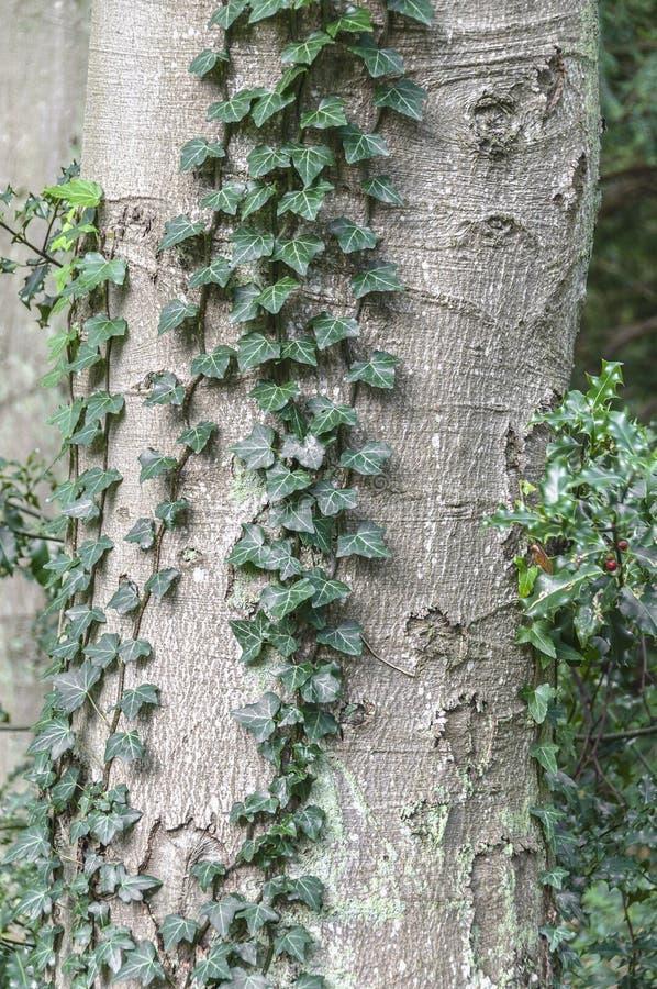Ein kleiner Baumstamm umgeben durch einen Efeu lizenzfreie stockbilder