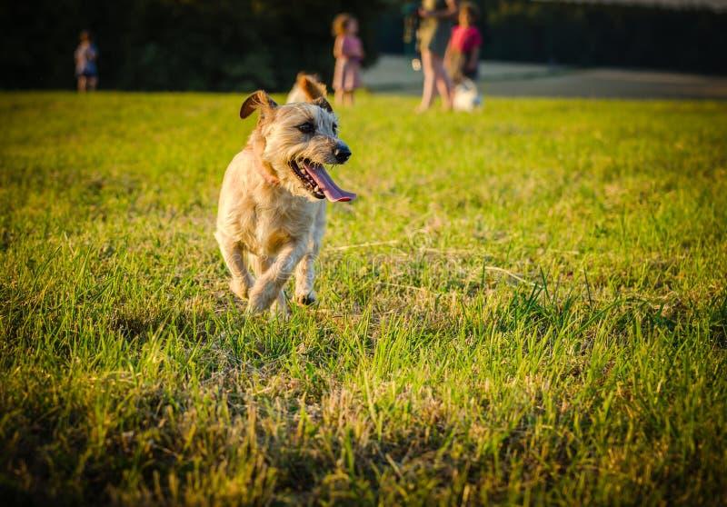 Ein kleiner brauner Hundemischungssteckfassungs-Russell-Terrier, der auf Wiese in den Strahlen der untergehenden Sonne läuft stockbilder