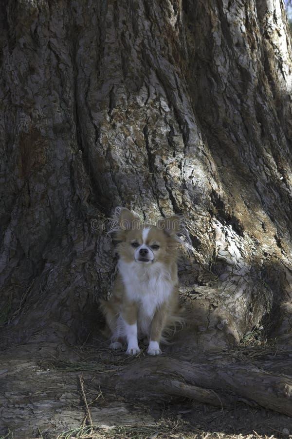 Ein kleiner Chihuahua-Hund stockbild