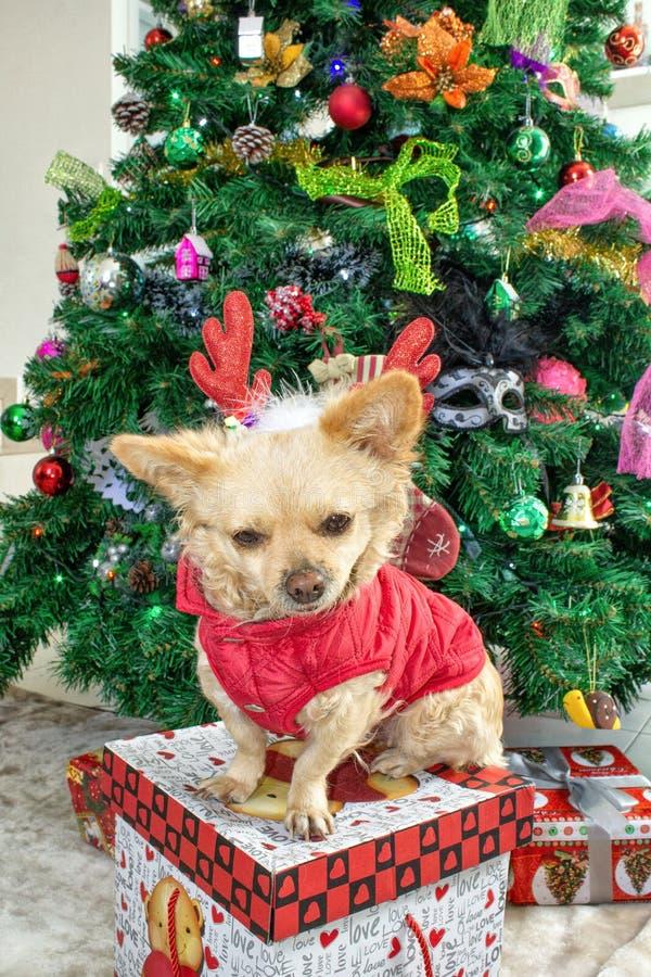 Ein kleiner Chihuahuahund in den Rotwildhörnern und in einem Kostüm des neuen Jahres auf dem Hintergrund des Weihnachtsbaums stockbild