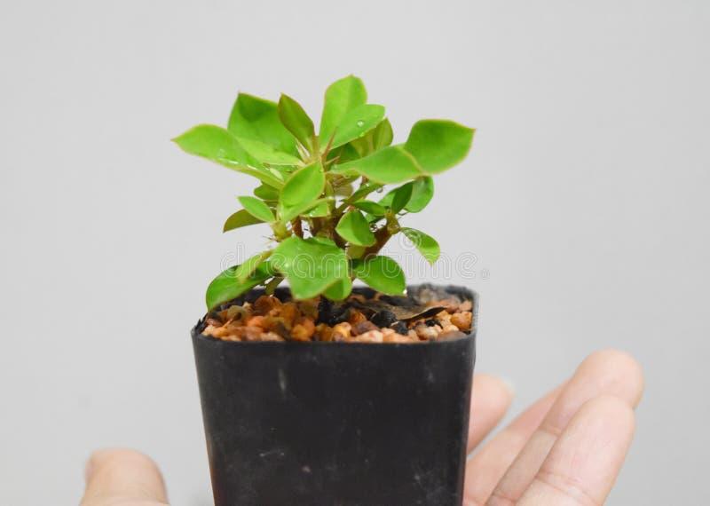 Ein kleiner Euphorbiengummi milii Baum auf weichem weißem Hintergrund in der Hand halten für die globale Erwärmung lizenzfreie stockfotografie