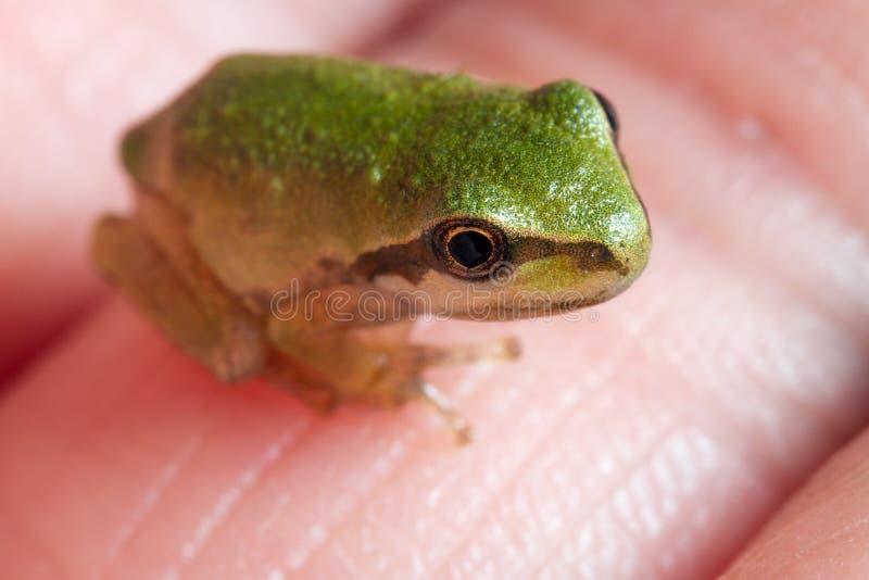Ein kleiner Frosch auf menschlichem Finger lizenzfreie stockfotos