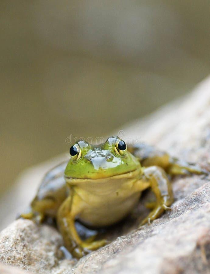 Ein kleiner grüner Frosch sitzt auf einem großen Felsen durch einen Teich an der Dämmerung stockbilder