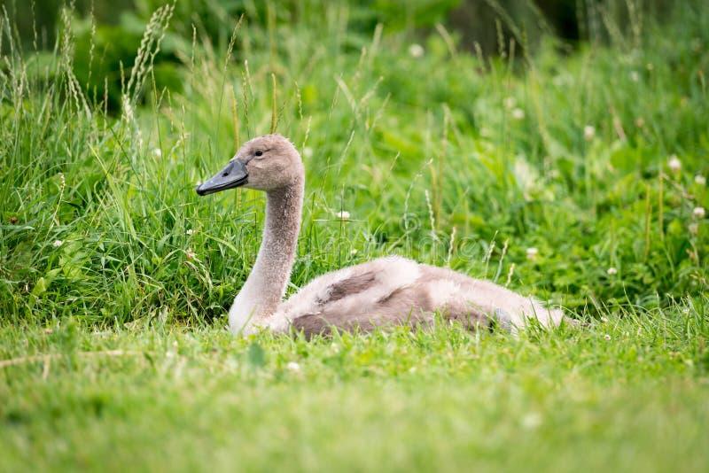Ein kleiner junger Schwan oder Cygnet im Gras stockfoto