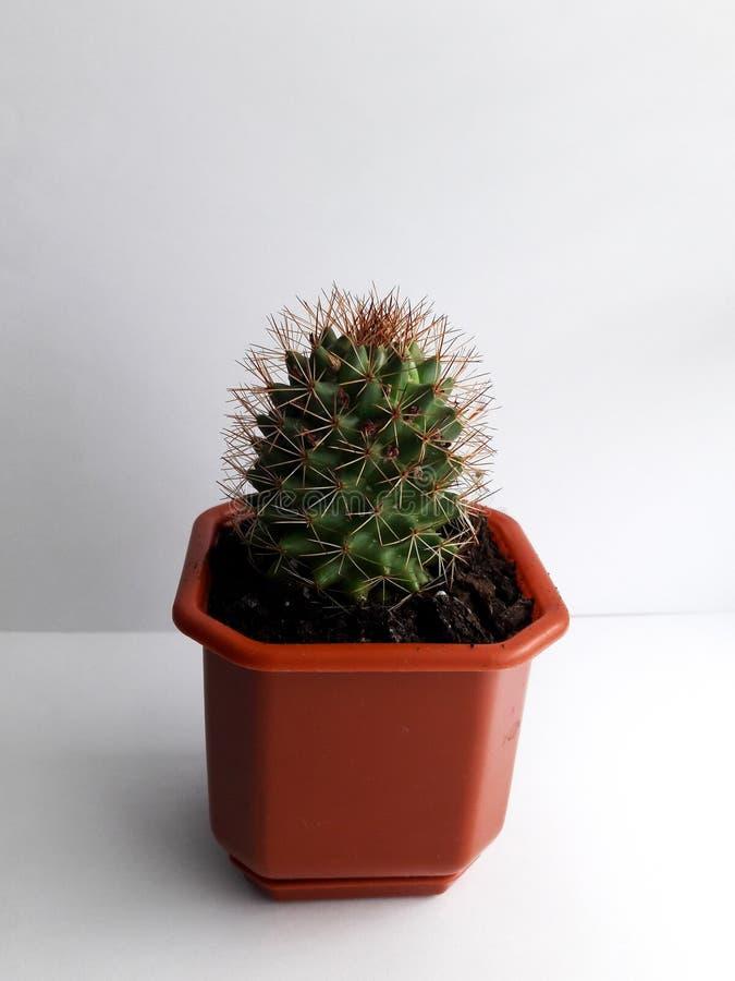 Ein kleiner Kaktus im Topf lizenzfreies stockfoto