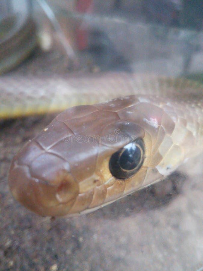 Ein kleiner netter Schlangenkopf stockbild