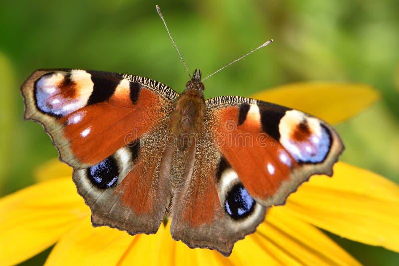 Ein kleiner Pfauschmetterling mit einem schönen Muster auf den Flügeln stockbild