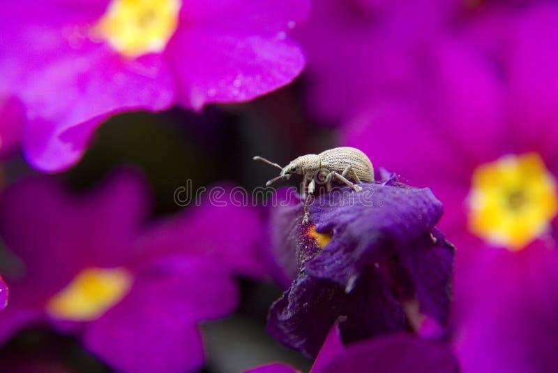 Ein kleiner Rüsselkäfer sitzt auf der Blume stockbild