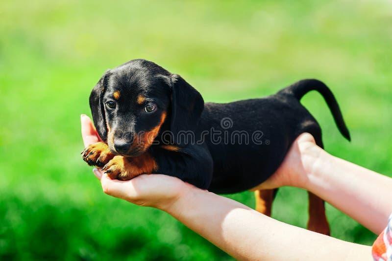 Ein kleiner schwarzer Hund liegt auf den Händen eines Mädchens Weibliche Hände, die einen Dachshundwelpen auf einem Hintergrund d lizenzfreies stockfoto
