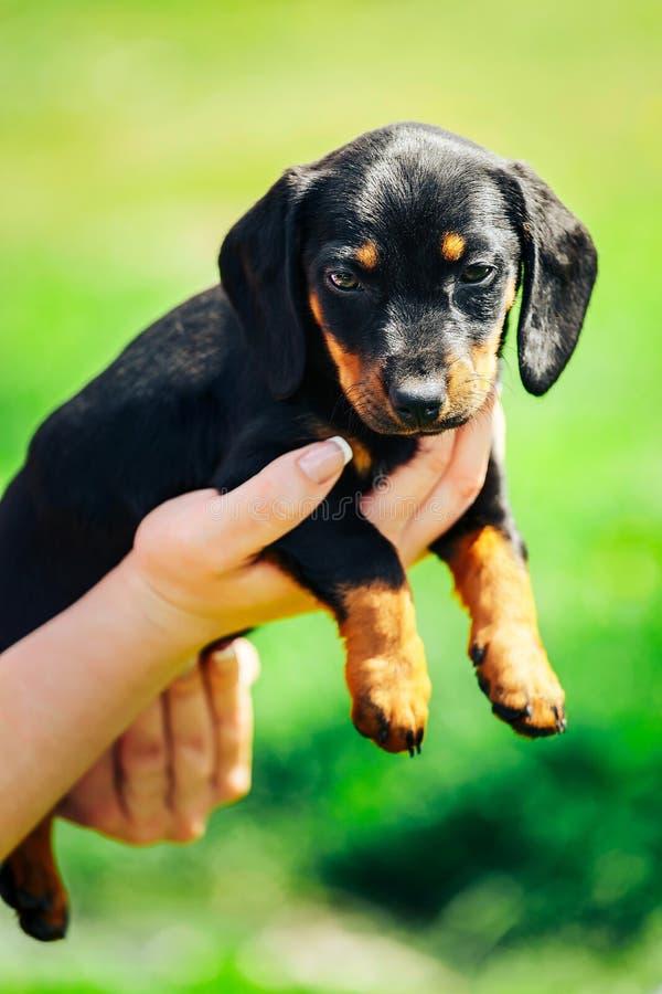 Ein kleiner schwarzer Hund liegt auf den Händen eines Mädchens Weibliche Hände, die einen Dachshundwelpen auf einem Hintergrund d lizenzfreie stockfotografie
