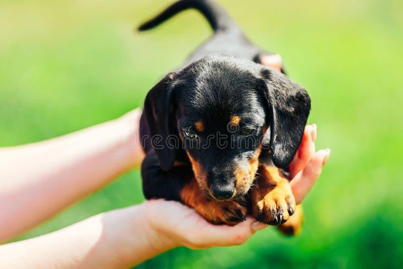 Ein kleiner schwarzer Hund liegt auf den Händen eines Mädchens Weibliche Hände, die einen Dachshundwelpen auf einem Hintergrund d stockbild