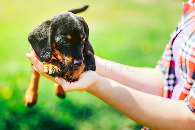 Ein kleiner schwarzer Hund liegt auf den Händen eines Mädchens Weibliche Hände, die einen Dachshundwelpen auf einem Hintergrund d stockfotos