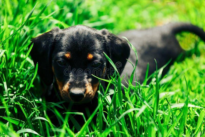 Ein kleiner schwarzer Hund liegt im grünen Gras Welpendachshund, der draußen im hohen Gras spielt lizenzfreie stockfotografie