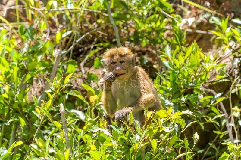 Ein kleiner Snack im Dschungel in Sri Lanka stockfotografie