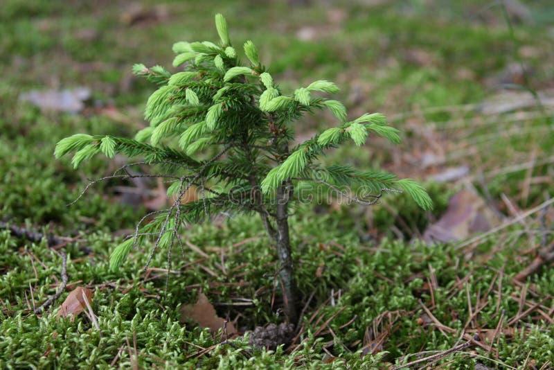 Ein kleiner Tannenbaum stockfoto