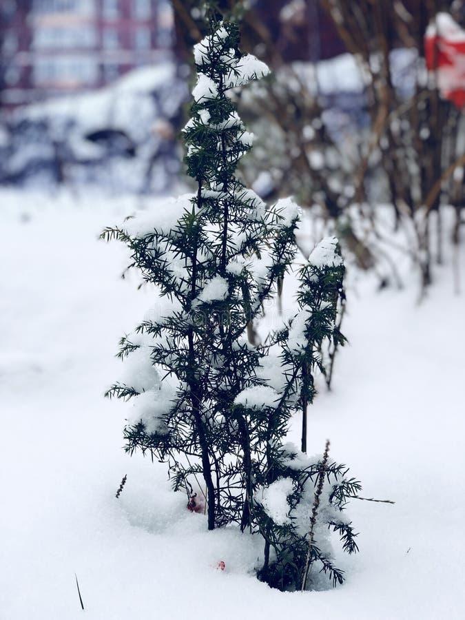 Ein kleiner Tannenbaum lizenzfreie stockfotografie