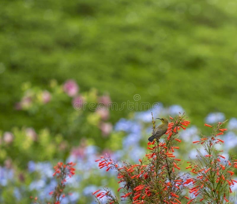 Ein kleiner Vogel auf Blume blühend gegen Hintergrund von Blumen stockbilder