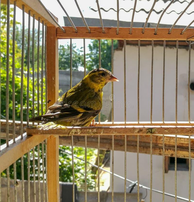 Ein kleiner Vogel sitzt in einem Käfig lizenzfreies stockfoto