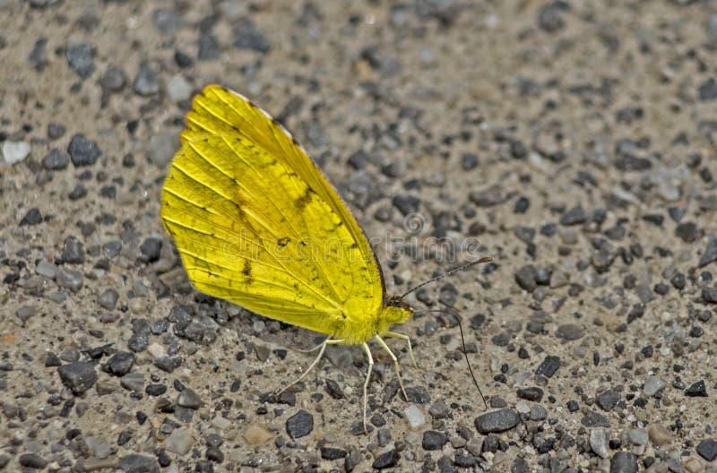 Ein kleiner wolkenloser Schwefel-Schmetterling sitzt Alarm lizenzfreie stockfotografie