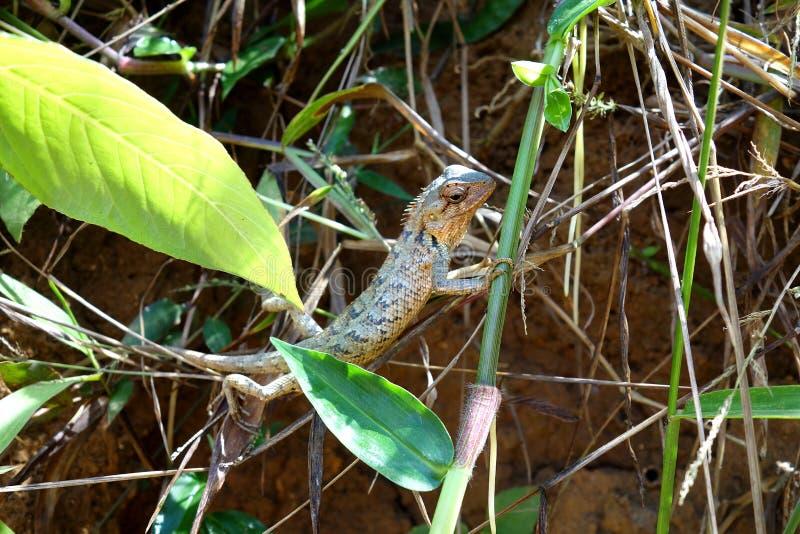 Ein kleines Agamids Lizeard in Sri Lanka lizenzfreies stockfoto