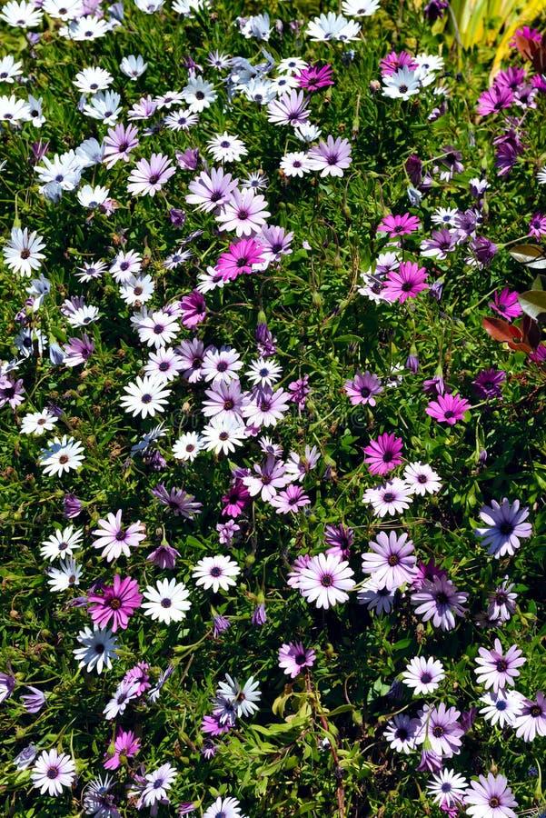 Ein kleines Büschel des weißen und rosa osteospermum blüht stockbild