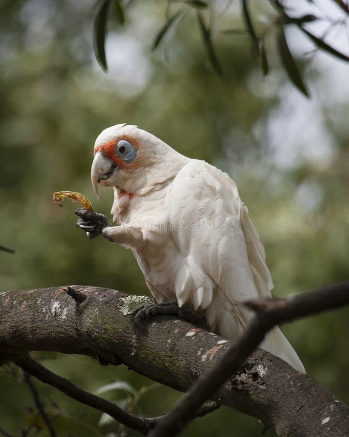 Ein kleines Corella, das in einem Baum speist lizenzfreies stockbild